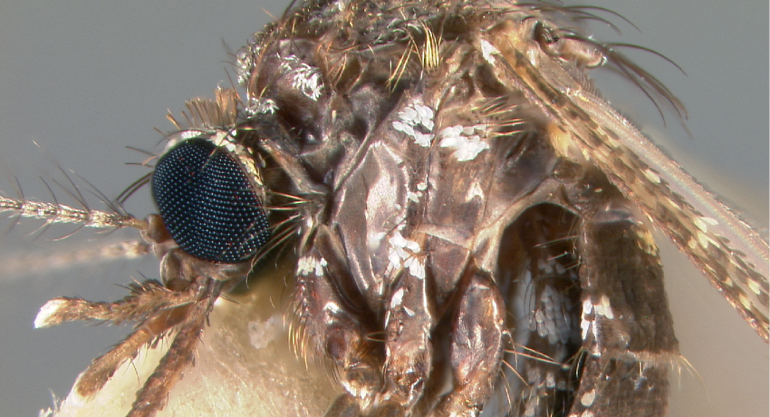 Thorax, Head (lateral)